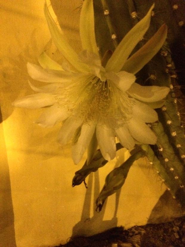 Mandacaru (Cereus Jamacaru)